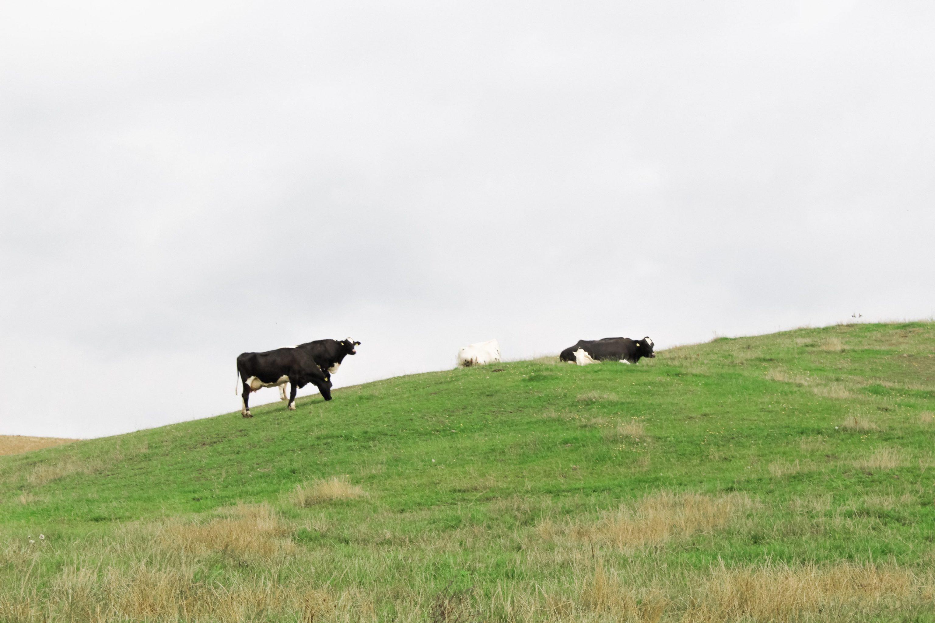 Brogede køer på Panoramaruten i Mariagerfjord